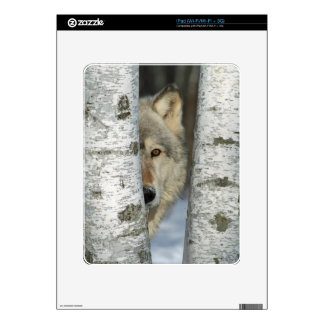 iPad skin with photo of gray wolf in birch trees