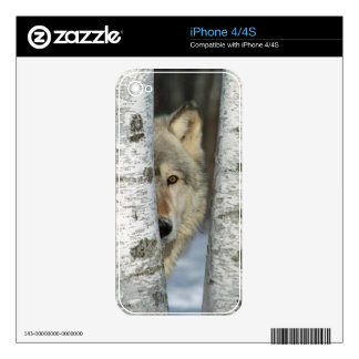 iPhone 4 skin with pic of gray wolf in birch trees