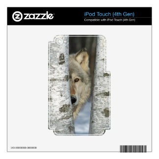 iPod 4 skin with photo of gray wolf in birch trees Skin For iPod Touch 4G