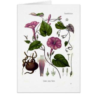 Ipomea purga (jalap) card