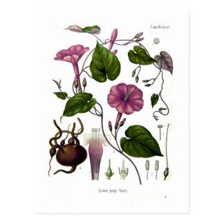 Ipomea purga (jalap) post cards