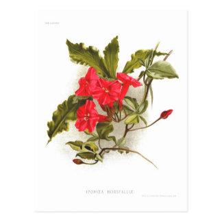 Ipomoea horsfalliae postcard