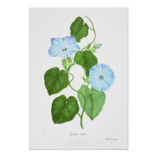 Ipomoea Indica Posters