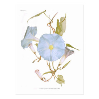 Ipomoea rubro-coerulea postcard