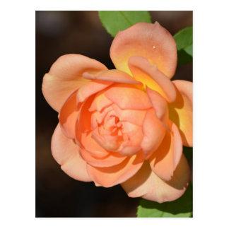 Iraqi Rose Postcards