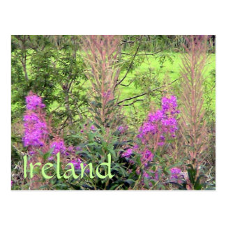 Ireland Heather Postcard