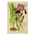 Iris alemán (germanica del iris) póster