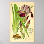 Iris alemán (germanica del iris) posters