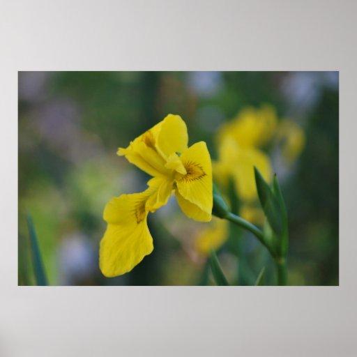 Iris amarillo póster