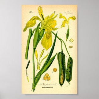 Iris amarillo (pseudacorus del iris) póster