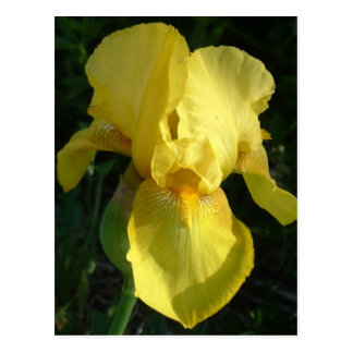 Iris amarillo tarjetas postales