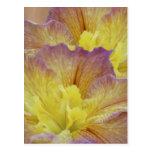 Iris amarillo y su significado tarjetas postales