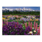 Iris and Lupine garden and Teton Range, Postcard