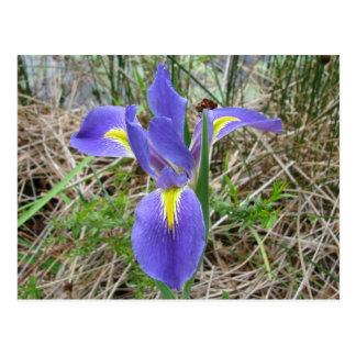 Iris azul grande de Luisiana Tarjetas Postales
