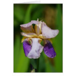 Iris azul hermoso tarjeta
