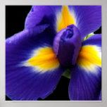 Iris azul salvaje poster