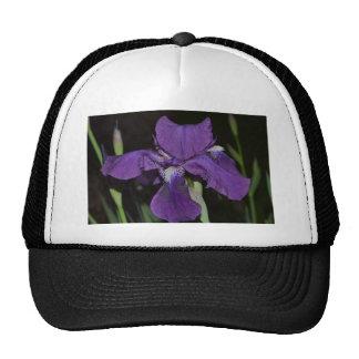 Iris barbudo en púrpuras gorro de camionero