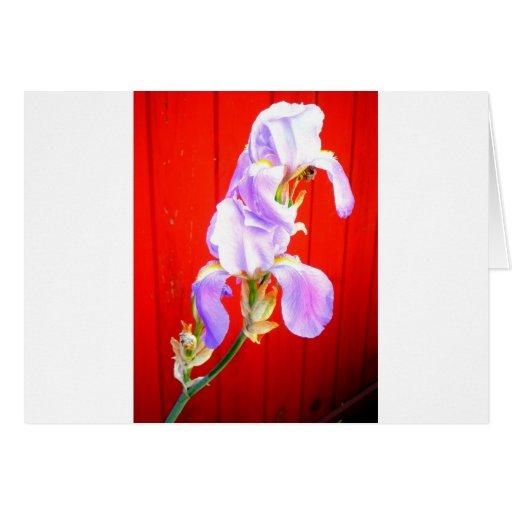 Iris barbudo púrpura imponente en rojo felicitaciones