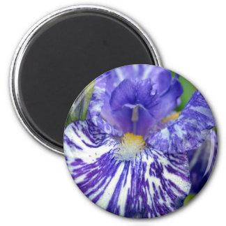 Iris barbudo púrpura y blanco imán redondo 5 cm