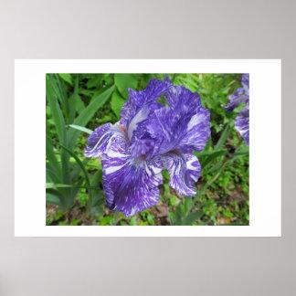 Iris 'Batik' Poster