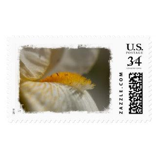 Iris blanco y amarillo franqueo
