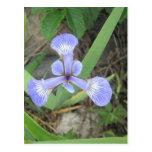 Iris Blue Flag Flower Postcard