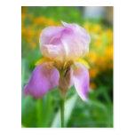 Iris colorido de la primavera postales