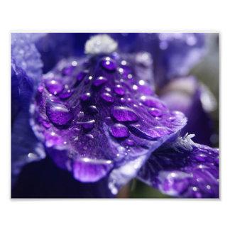 Iris cubierto de rocio mojado impresiones fotográficas
