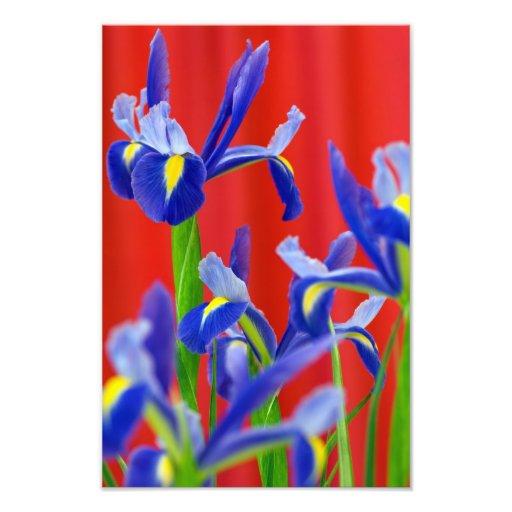 Iris de Ikebana y cortina roja Foto