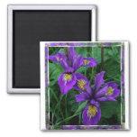 Iris de la Costa del Pacífico (Douglas) - imán