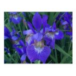 Iris de madera tarjetas postales