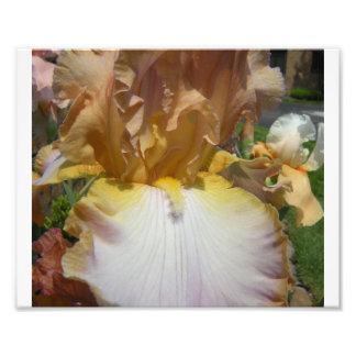 Iris de risa cojinete