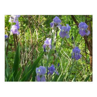 Iris de Sping en Tennessee del este Tarjetas Postales