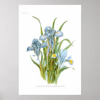 Iris del invierno póster