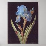 Iris-en-Negro Botánico-Flor-Azul del vintage Poster