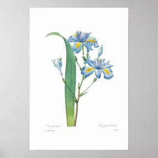Iris fimbriata poster