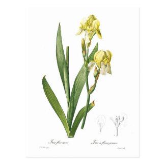 Iris flavescens postcard