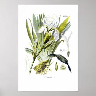 Iris florentina poster
