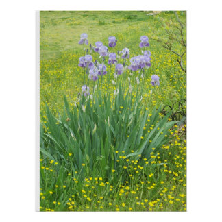 Iris Flowers in a Sea of Buttercups Posters