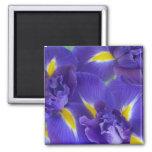 Iris flowers magnet