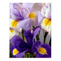 Iris flowers post cards