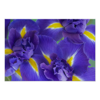 Iris flowers poster