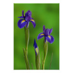 Iris Flowers Posters