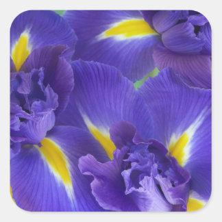 Iris flowers square sticker