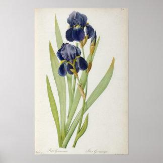 """Iris Germanica, de """"Les Liliacees"""", 1805 Póster"""