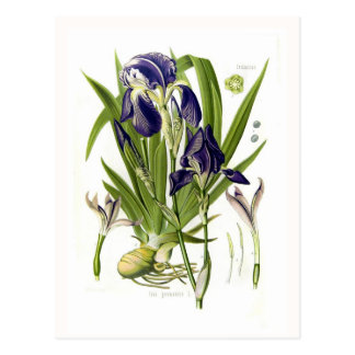 Iris germanica post cards