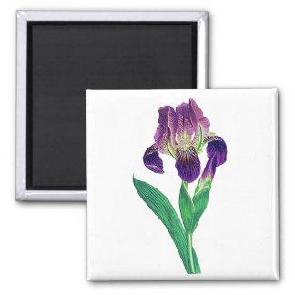 Iris holandés púrpura precioso imán cuadrado