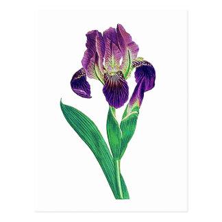 Iris holandés púrpura precioso tarjeta postal