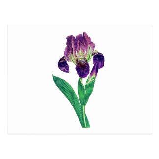 Iris holandés púrpura precioso tarjetas postales
