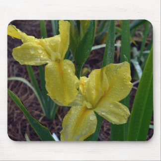 Iris imberbe amarillo de Luisiana Mouse Pads